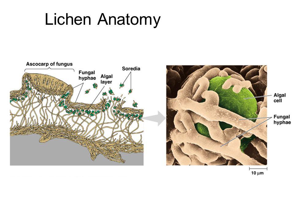 Lichen Anatomy