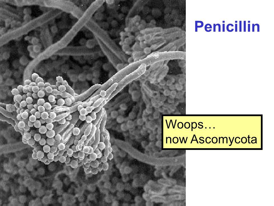 Penicillin Woops… now Ascomycota