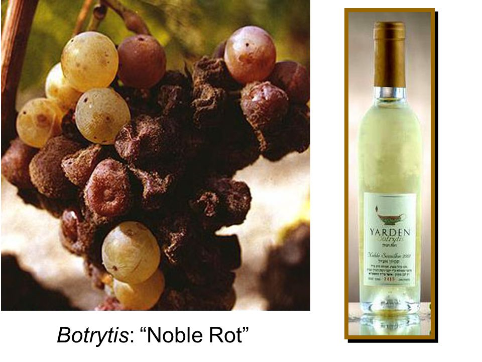 Botrytis: Noble Rot