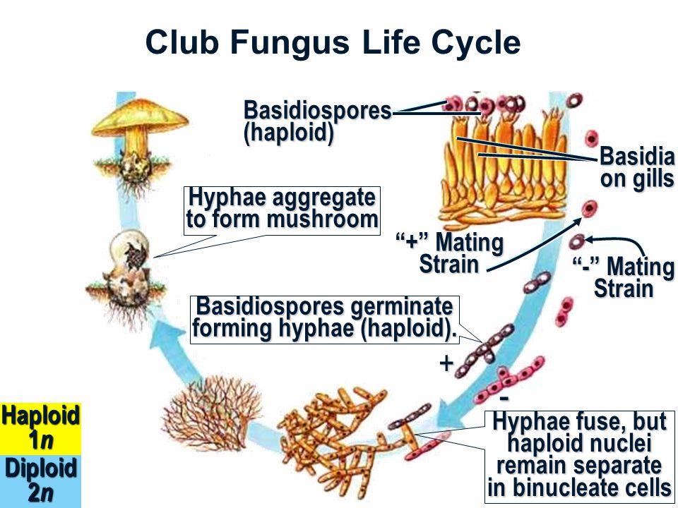 Club Fungus Life Cycle Diploid 2 n Haploid 1 n Basidia on gills Basidiospores (haploid) + Mating Strain - Mating Strain Basidiospores germinate forming hyphae (haploid).