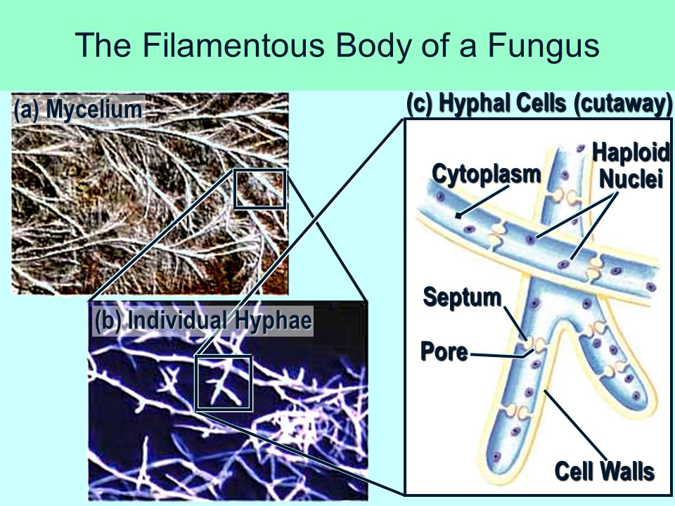 Sac Fungi AscusAscus = sac that surrounds haploid ascospores