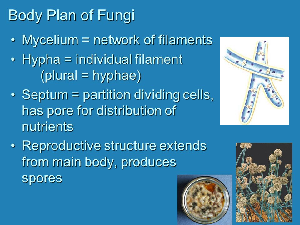 Club Fungi BasidiumBasidium = club-shaped reproductive structure that produces basidiospores