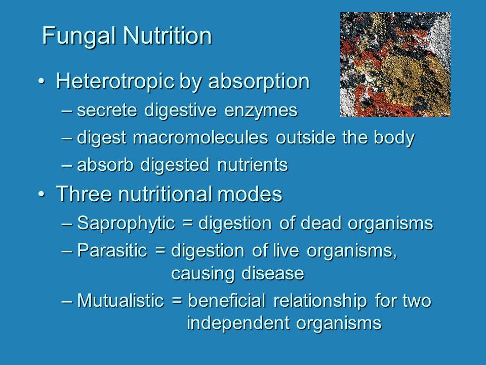 Club Fungus Life Cycle Diploid 2 n Haploid 1 n Mushroom gills bear reproductive basidia.