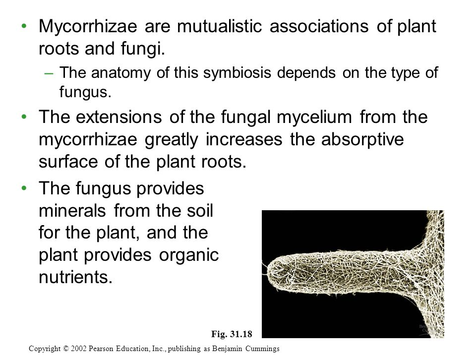 Mycorrhizae are mutualistic associations of plant roots and fungi.