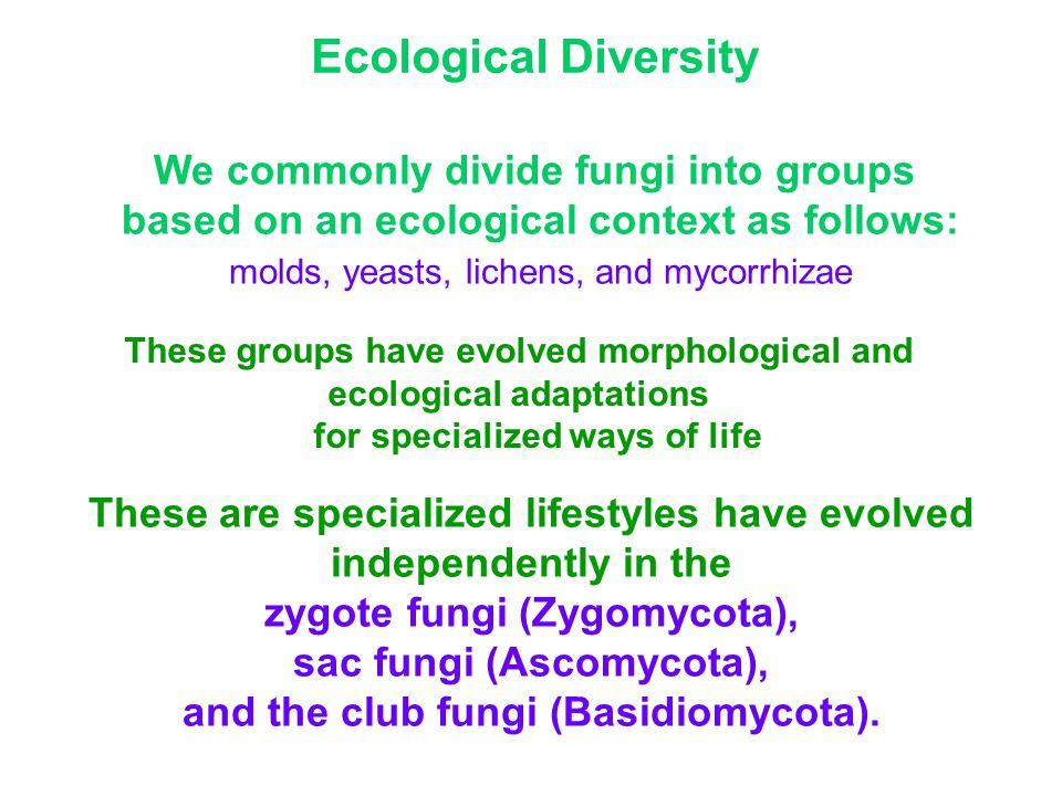These are specialized lifestyles have evolved independently in the zygote fungi (Zygomycota), sac fungi (Ascomycota), and the club fungi (Basidiomycota).