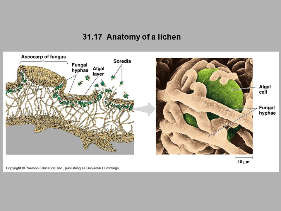 31.17 Anatomy of a lichen
