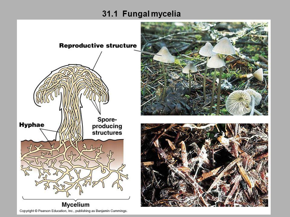 31.1 Fungal mycelia