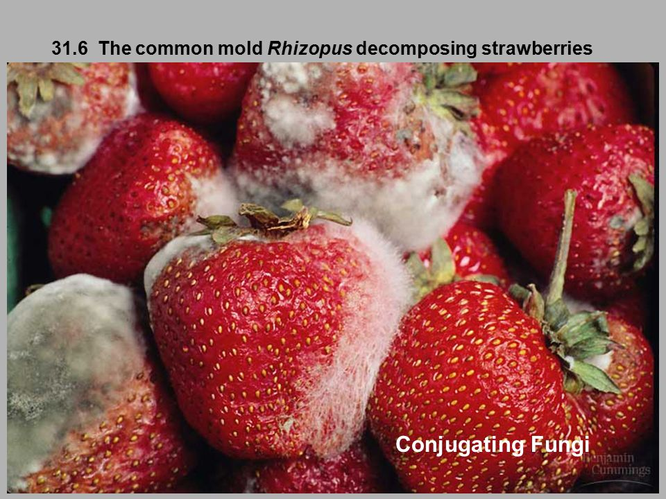 31.6 The common mold Rhizopus decomposing strawberries Conjugating Fungi