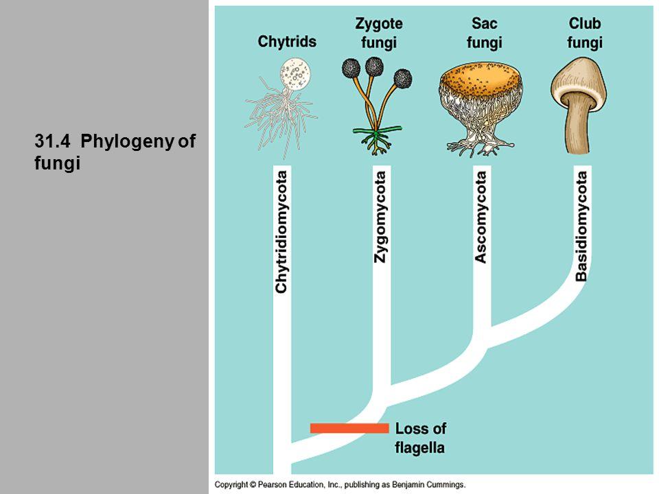 31.4 Phylogeny of fungi