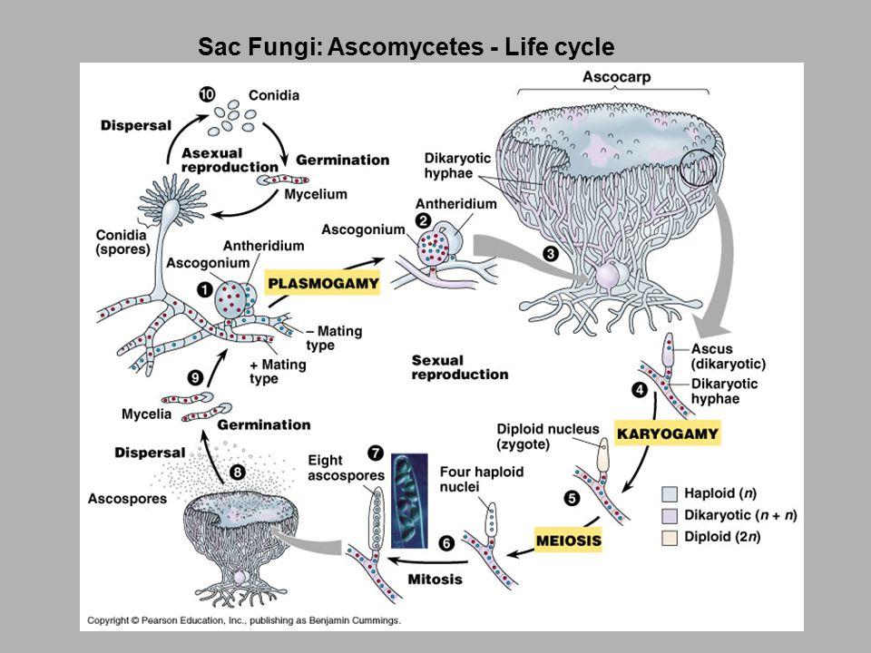 Sac Fungi: Ascomycetes - Life cycle