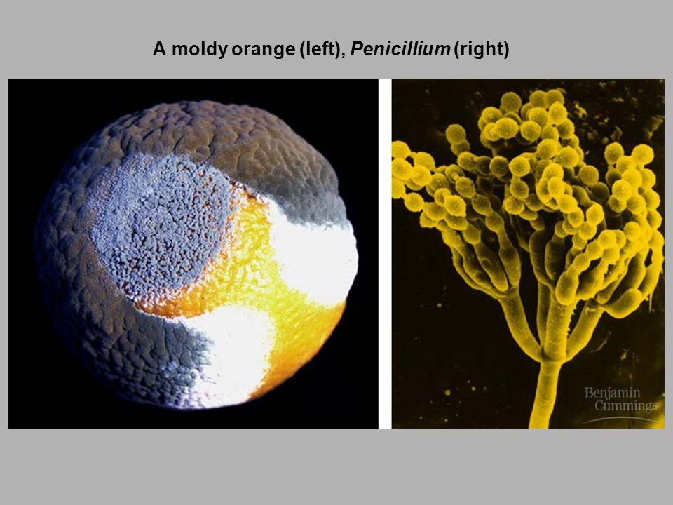 A moldy orange (left), Penicillium (right)