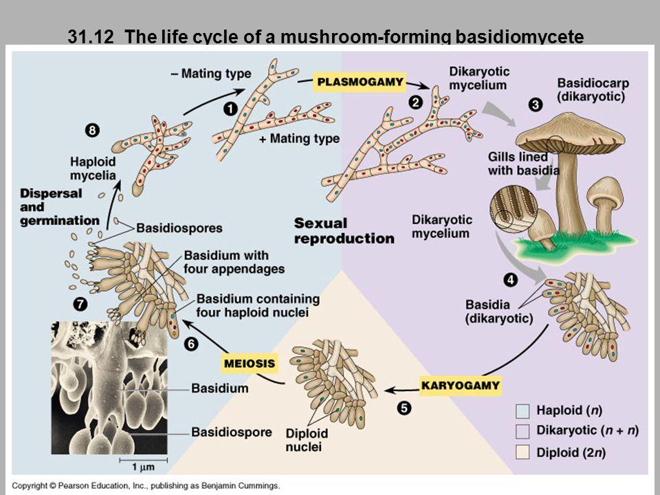 31.12 The life cycle of a mushroom-forming basidiomycete