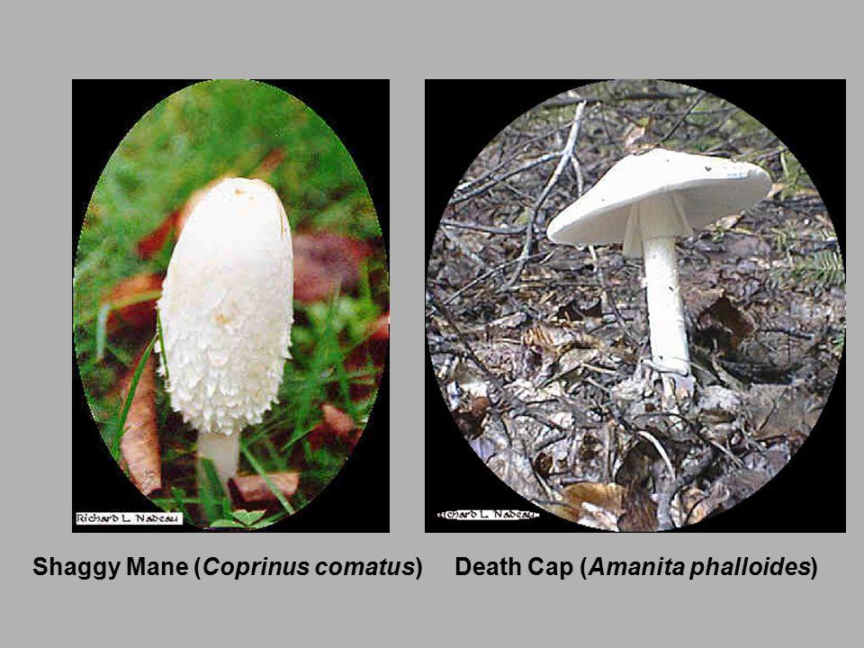 Death Cap (Amanita phalloides)Shaggy Mane (Coprinus comatus)