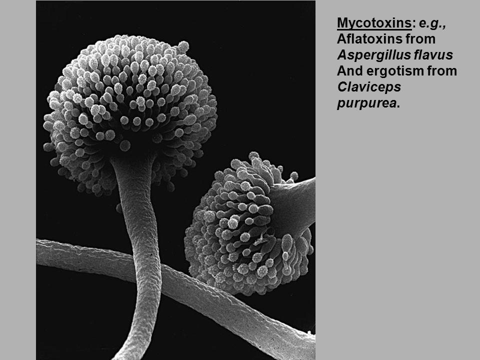 Mycotoxins: e.g., Aflatoxins from Aspergillus flavus And ergotism from Claviceps purpurea.