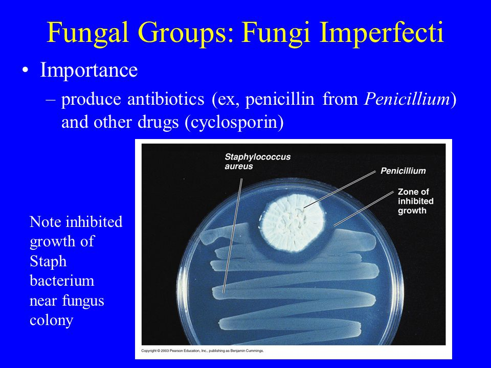 Fungal Groups: Fungi Imperfecti Importance –produce antibiotics (ex, penicillin from Penicillium) and other drugs (cyclosporin) Note inhibited growth of Staph bacterium near fungus colony