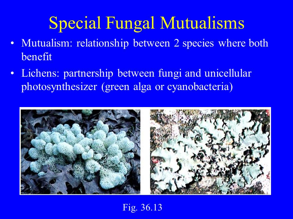 Special Fungal Mutualisms Mutualism: relationship between 2 species where both benefit Lichens: partnership between fungi and unicellular photosynthesizer (green alga or cyanobacteria) Fig.