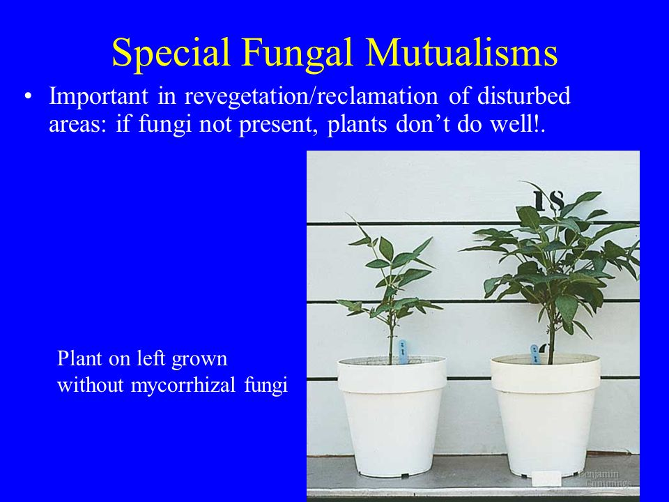 Special Fungal Mutualisms Important in revegetation/reclamation of disturbed areas: if fungi not present, plants don't do well!.