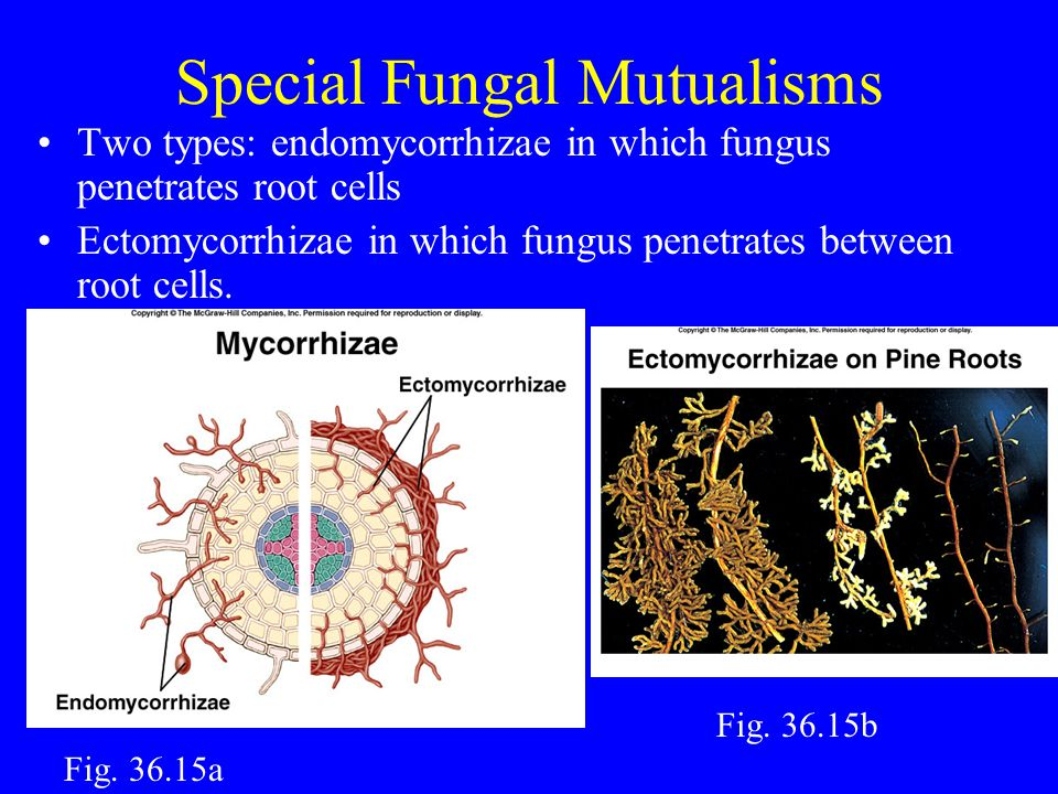 Special Fungal Mutualisms Two types: endomycorrhizae in which fungus penetrates root cells Ectomycorrhizae in which fungus penetrates between root cells.