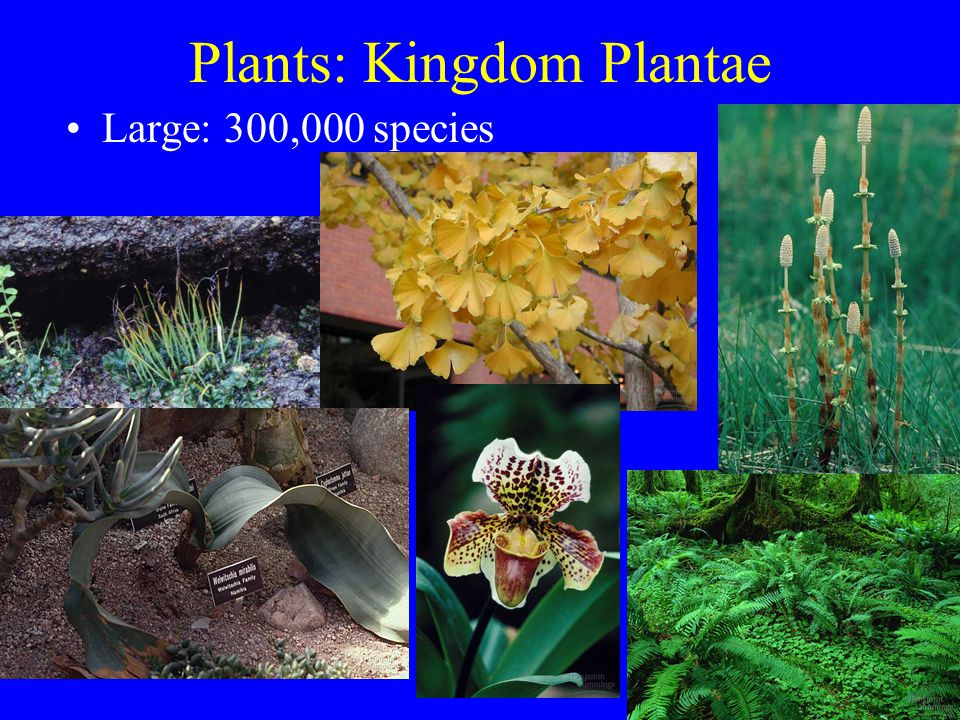 Plants: Kingdom Plantae Large: 300,000 species