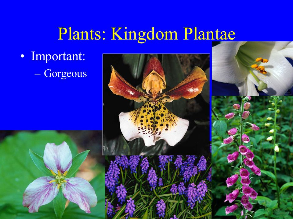 Plants: Kingdom Plantae Important: –Gorgeous