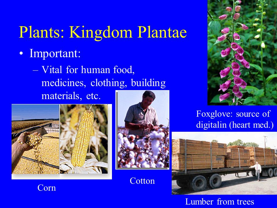 Plants: Kingdom Plantae Important: –Vital for human food, medicines, clothing, building materials, etc.