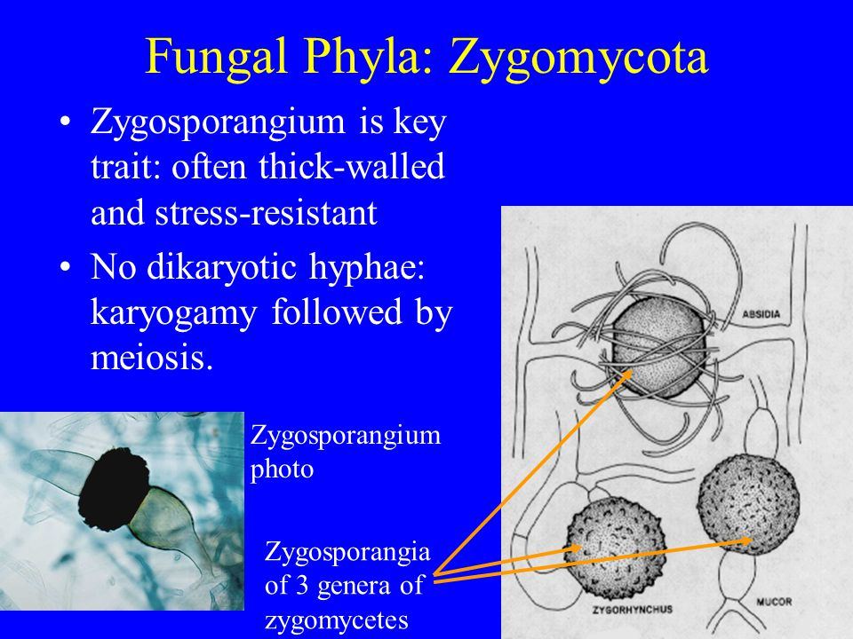 Fungal Phyla: Zygomycota Zygosporangium is key trait: often thick-walled and stress-resistant No dikaryotic hyphae: karyogamy followed by meiosis.