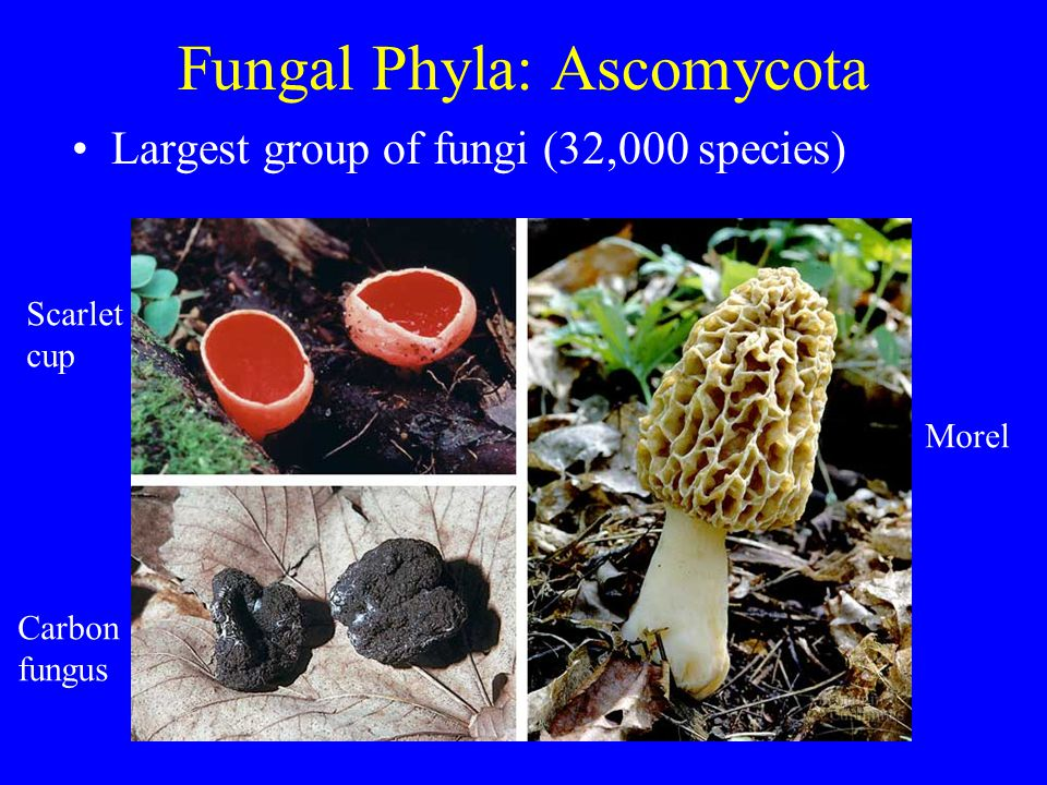 Fungal Phyla: Ascomycota Largest group of fungi (32,000 species) Morel Scarlet cup Carbon fungus