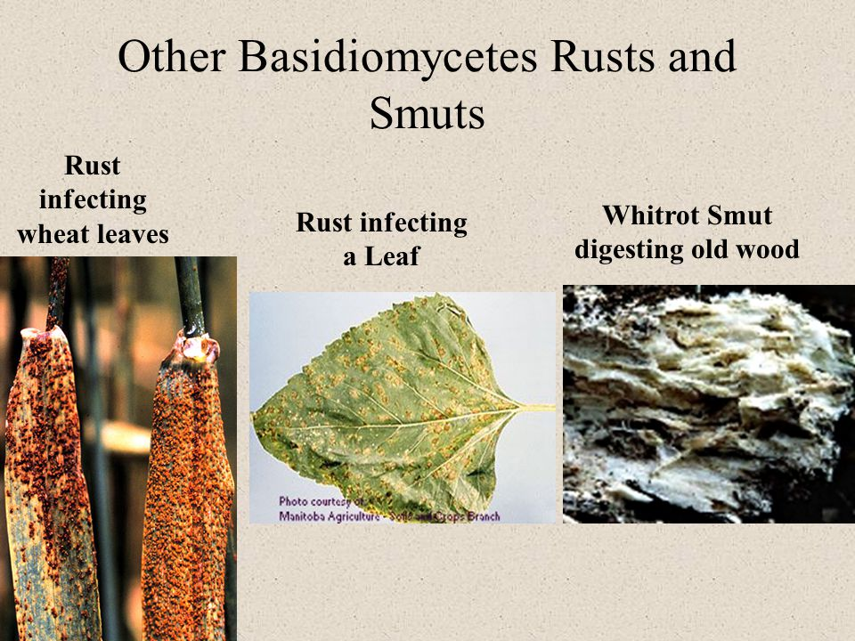 Other Basidiomycetes Rusts and Smuts Rust infecting wheat leaves Rust infecting a Leaf Whitrot Smut digesting old wood