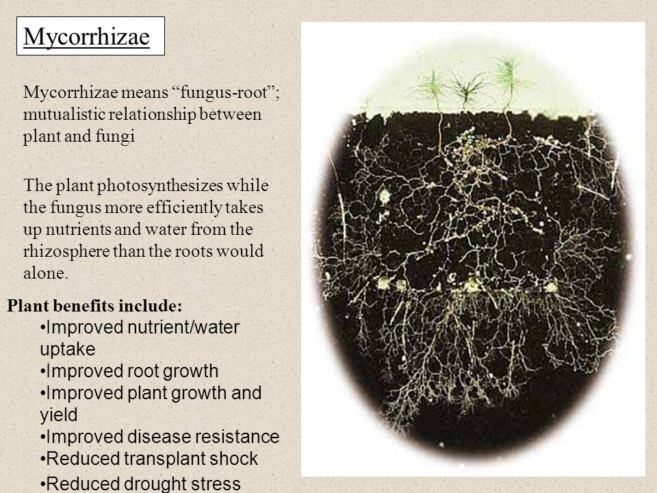 Mycorrhizae Mycorrhizae means fungus-root ; mutualistic relationship between plant and fungi The plant photosynthesizes while the fungus more efficiently takes up nutrients and water from the rhizosphere than the roots would alone.
