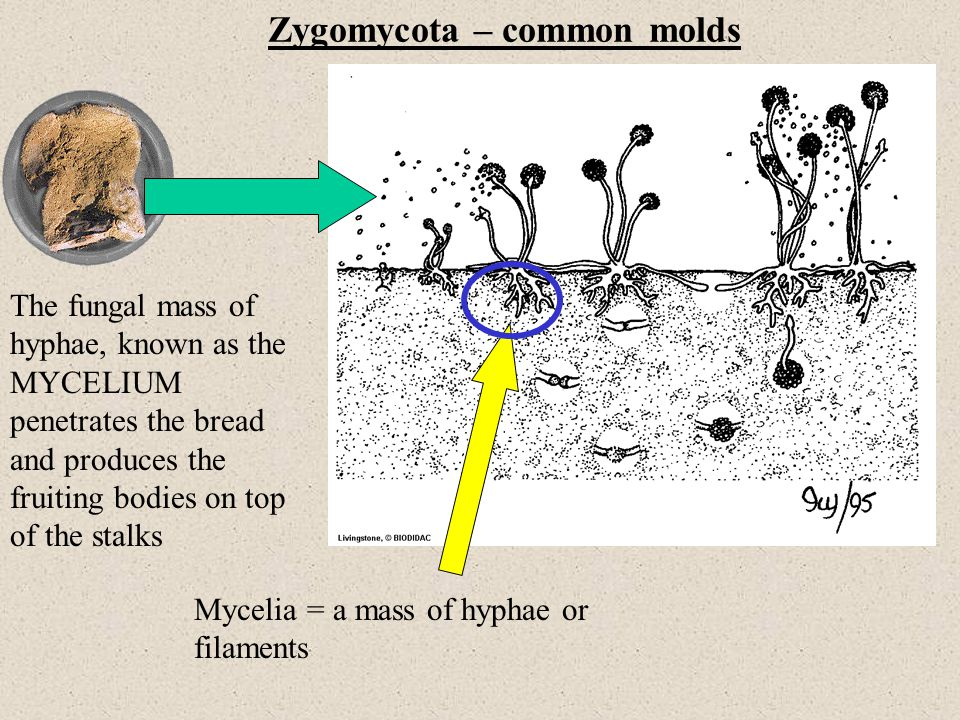 Zygomycota – common molds The fungal mass of hyphae, known as the MYCELIUM penetrates the bread and produces the fruiting bodies on top of the stalks Mycelia = a mass of hyphae or filaments