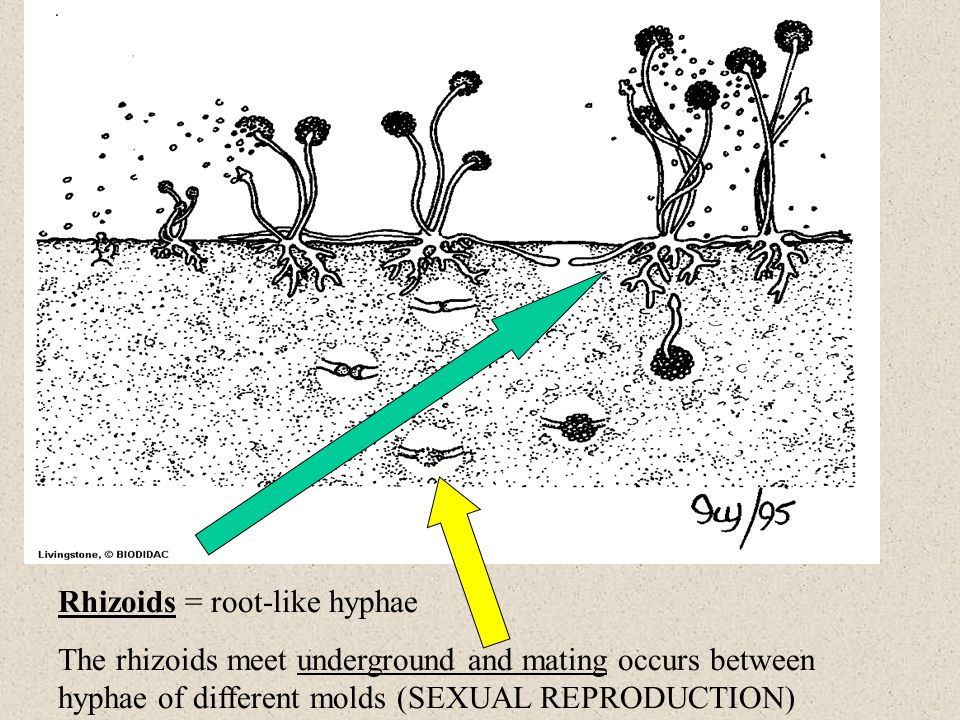 Rhizoids = root-like hyphae The rhizoids meet underground and mating occurs between hyphae of different molds (SEXUAL REPRODUCTION)