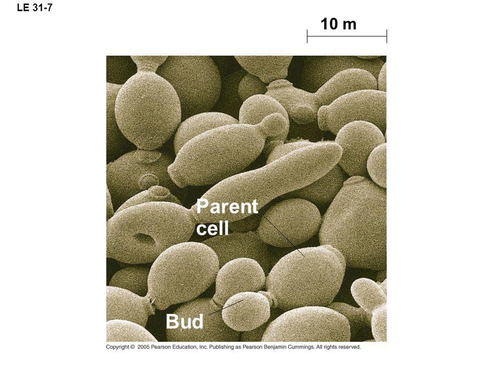 LE 31-7 10 m Parent cell Bud
