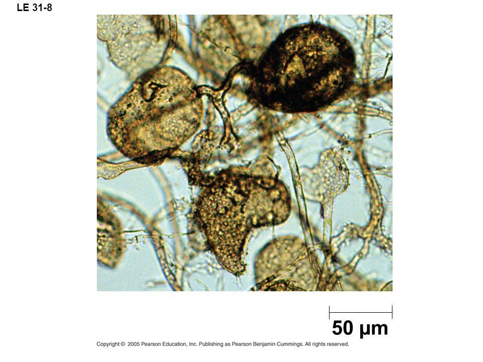 LE 31-8 50 µm