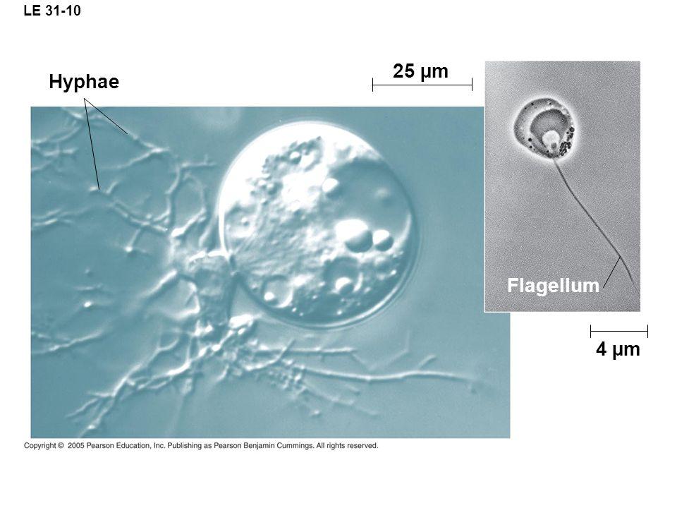 LE 31-10 Hyphae 25 µm Flagellum 4 µm