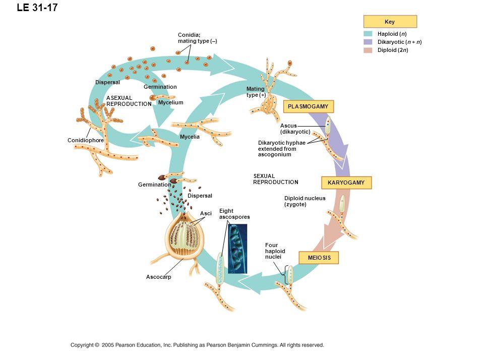 LE 31-17 PLASMOGAMY Key Haploid (n) Dikaryotic (n + n) Diploid (2n) SEXUAL REPRODUCTION KARYOGAMY Four haploid nuclei MEIOSIS Dikaryotic hyphae extended from ascogonium ASEXUAL REPRODUCTION Diploid nucleus (zygote) Dispersal Germination Mycelium Mycelia Conidiophore Conidia; mating type (–) Mating type (+) Ascus (dikaryotic) Eight ascospores Asci Ascocarp Germination Dispersal