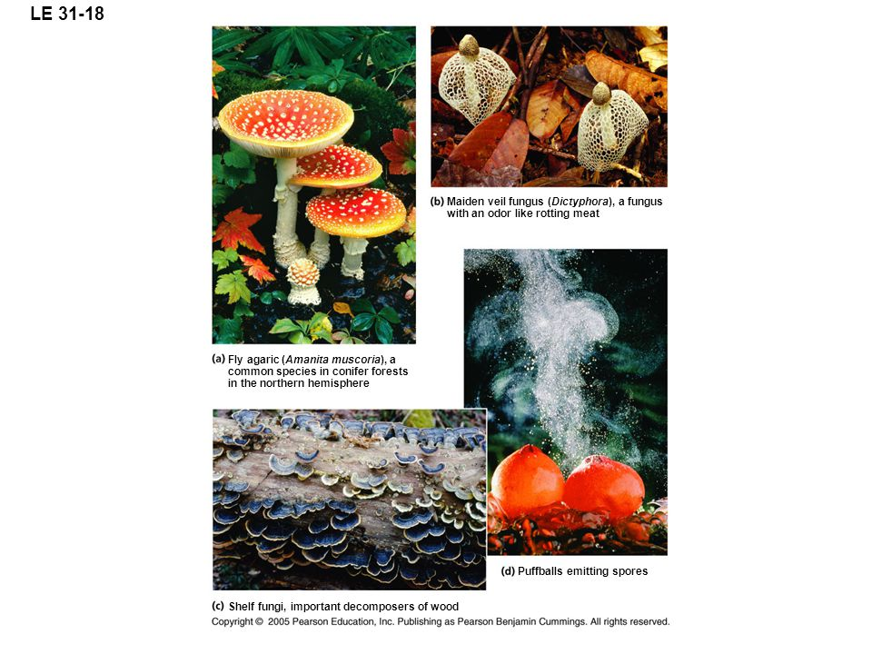 LE 31-18 Fly agaric (Amanita muscoria), a common species in conifer forests in the northern hemisphere Maiden veil fungus (Dictyphora), a fungus with an odor like rotting meat Shelf fungi, important decomposers of wood Puffballs emitting spores