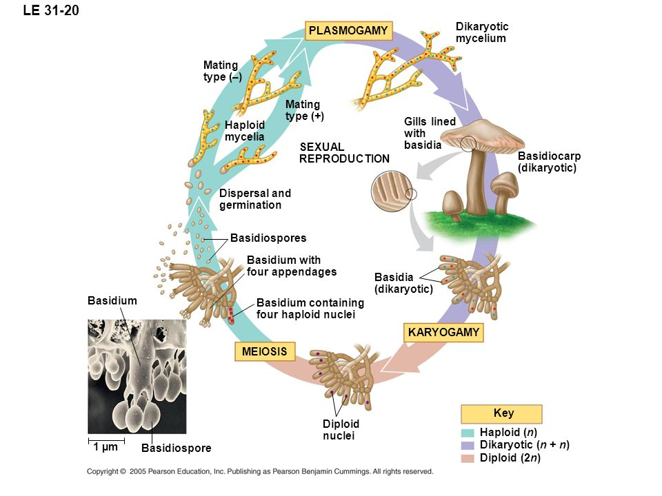 LE 31-20 PLASMOGAMY Key Haploid (n) Dikaryotic (n + n) Diploid (2n) SEXUAL REPRODUCTION KARYOGAMY MEIOSIS Dikaryotic mycelium Basidium containing four haploid nuclei Dispersal and germination Basidium 1 µm Mating type (+) Mating type (–) Haploid mycelia Gills lined with basidia Basidiocarp (dikaryotic) Basidia (dikaryotic) Diploid nuclei Basidiospore Basidium with four appendages Basidiospores