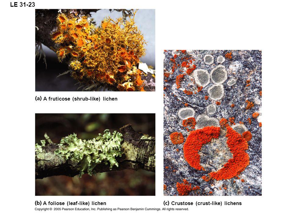 LE 31-23 A fruticose (shrub-like) lichen A foliose (leaf-like) lichen Crustose (crust-like) lichens