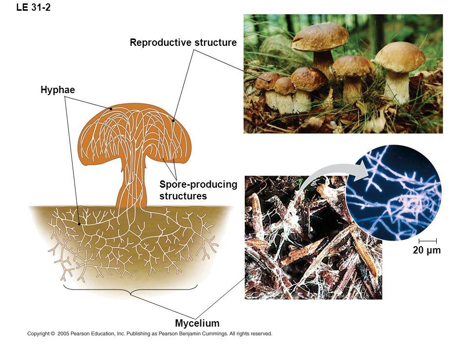 LE 31-2 Reproductive structure Hyphae Spore-producing structures Mycelium 20 µm