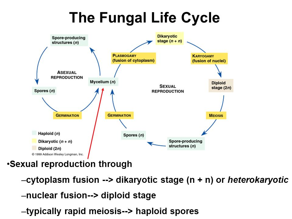 The Fungal Life Cycle Sexual reproduction through –cytoplasm fusion --> dikaryotic stage (n + n) or heterokaryotic –nuclear fusion--> diploid stage –t