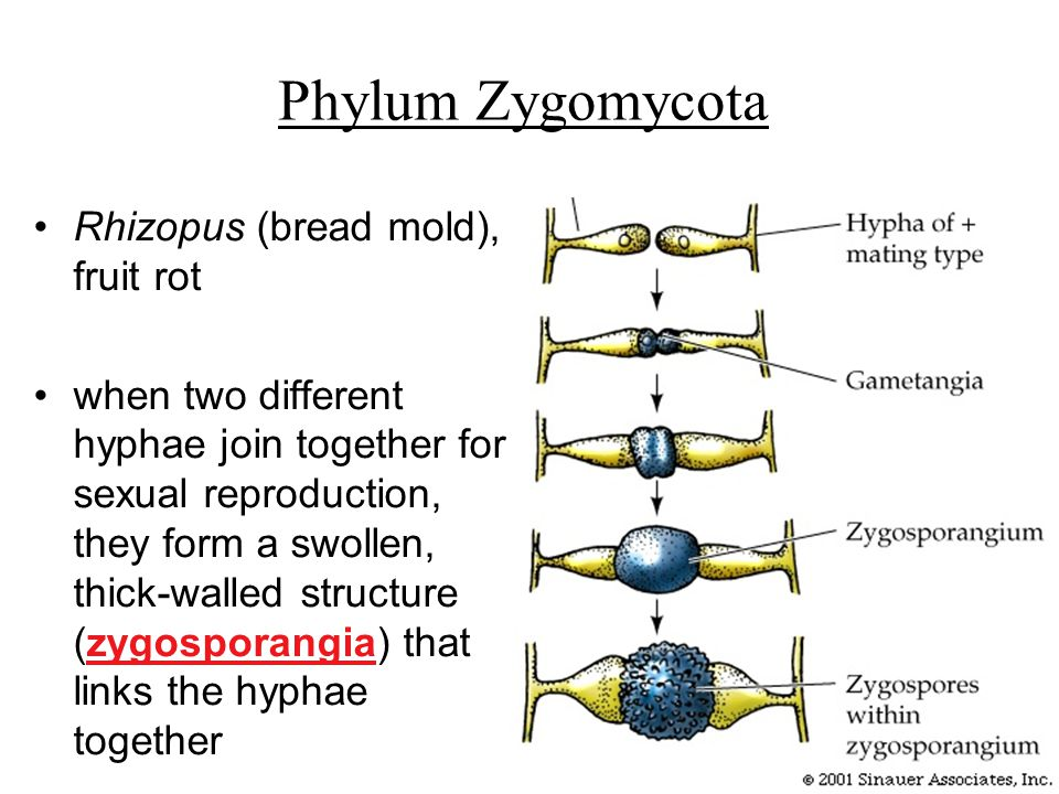 Phylum Zygomycota Rhizopus (bread mold), fruit rot when two different hyphae join together for sexual reproduction, they form a swollen, thick-walled