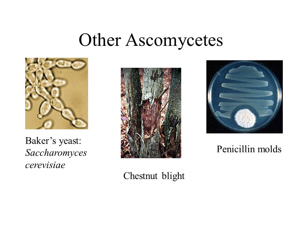 Other Ascomycetes Baker's yeast: Saccharomyces cerevisiae Penicillin molds Chestnut blight