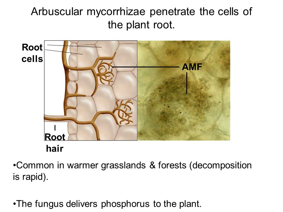 AMF Root cells Root hair Common in warmer grasslands & forests (decomposition is rapid). The fungus delivers phosphorus to the plant. Arbuscular mycor