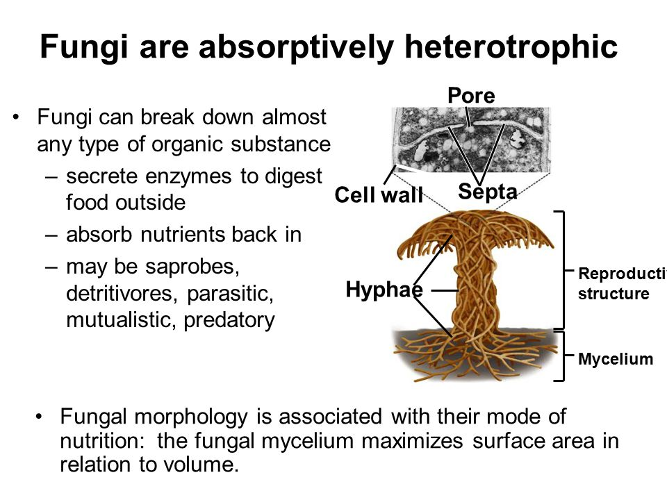 Hyphae Reproductive structure Mycelium Septa Cell wall Pore Fungi are absorptively heterotrophic Fungi can break down almost any type of organic subst