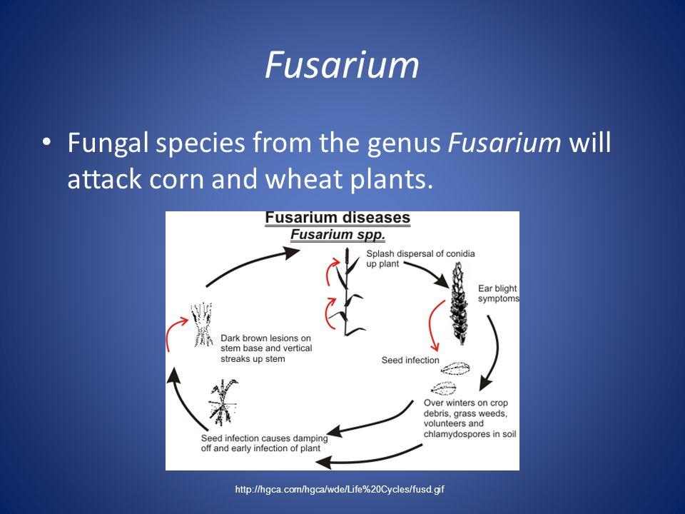 Fusarium Fungal species from the genus Fusarium will attack corn and wheat plants. http://hgca.com/hgca/wde/Life%20Cycles/fusd.gif
