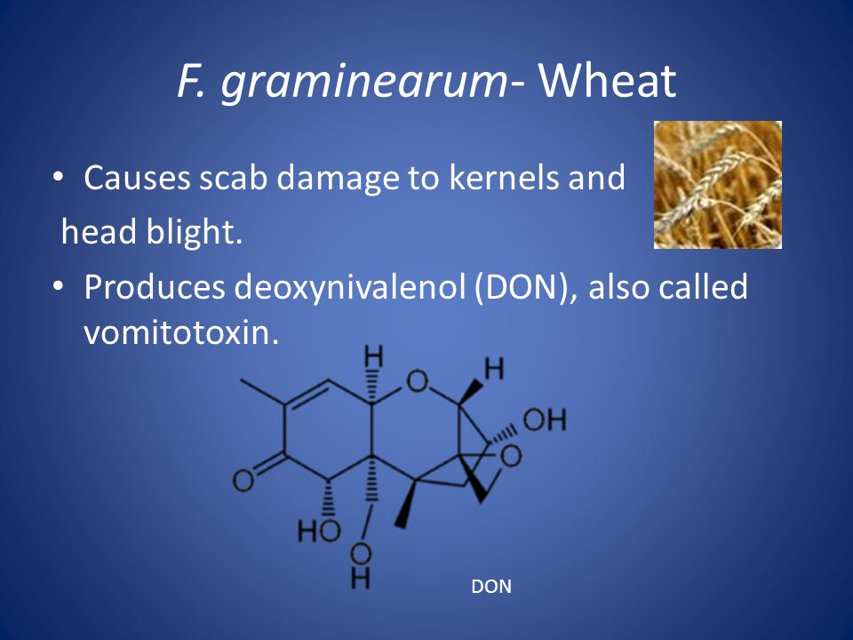 F. graminearum- Wheat Causes scab damage to kernels and head blight. Produces deoxynivalenol (DON), also called vomitotoxin. DON