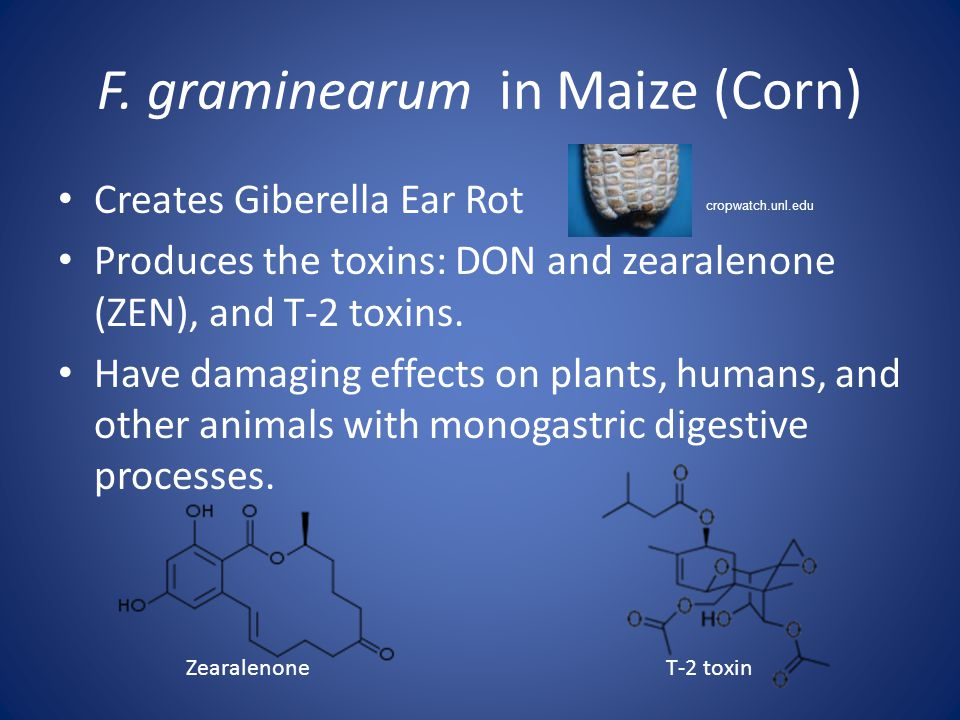 F. graminearum in Maize (Corn) Creates Giberella Ear Rot Produces the toxins: DON and zearalenone (ZEN), and T-2 toxins. Have damaging effects on plan