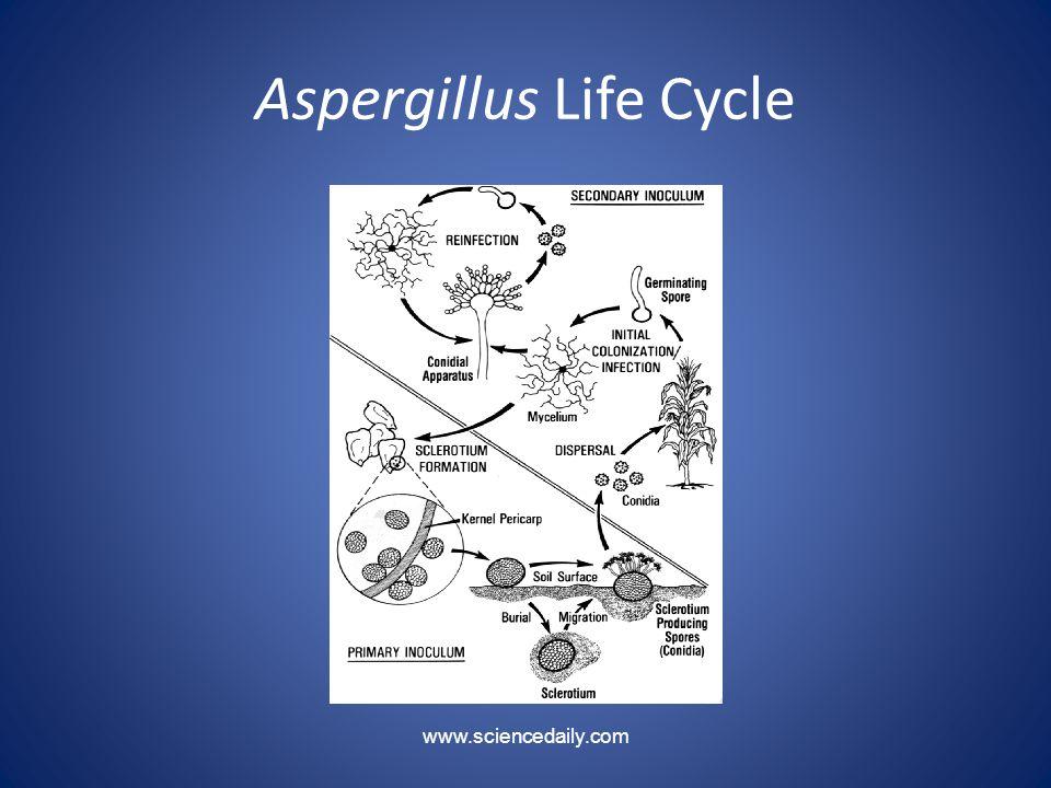 Aspergillus Life Cycle www.sciencedaily.com