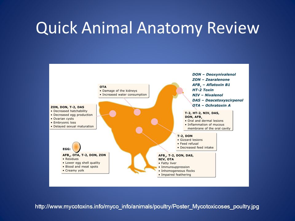 Quick Animal Anatomy Review http://www.mycotoxins.info/myco_info/animals/poultry/Poster_Mycotoxicoses_poultry.jpg