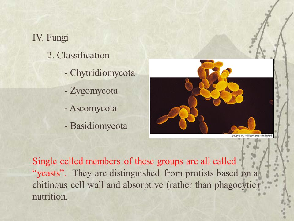"IV. Fungi 2. Classification - Chytridiomycota - Zygomycota - Ascomycota - Basidiomycota Single celled members of these groups are all called ""yeasts""."